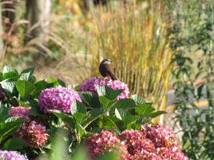 Sparrow on Hydrangea