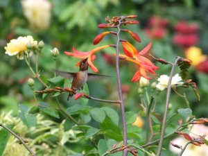 A Hummingbird Enjoying Crocosmia 'Orangeade'