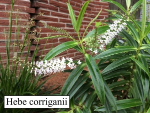 Hebe corrigani march bloom sm